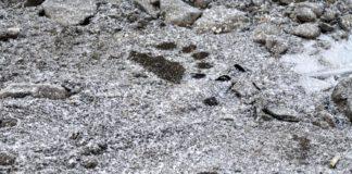 Как выглядит след медведя