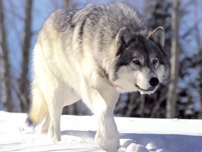 Следы волка на глубоком снегу