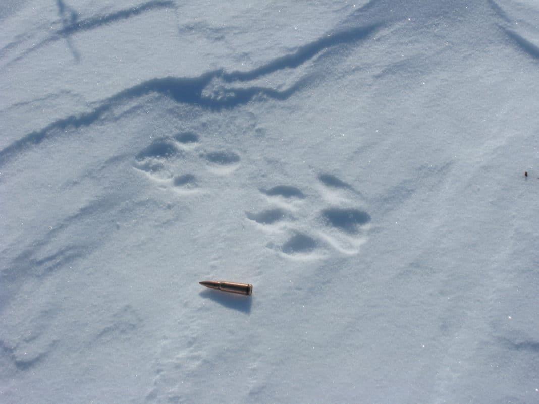 Следы волка на снегу фото