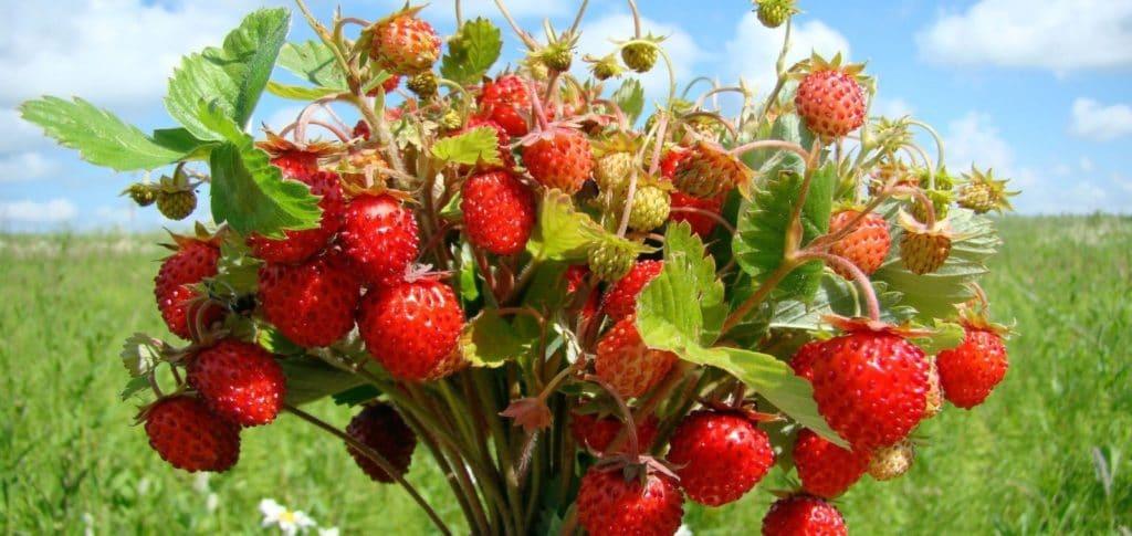 лесные ягоды со съедобными плодами