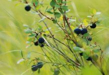 съедобные ягоды в лесу