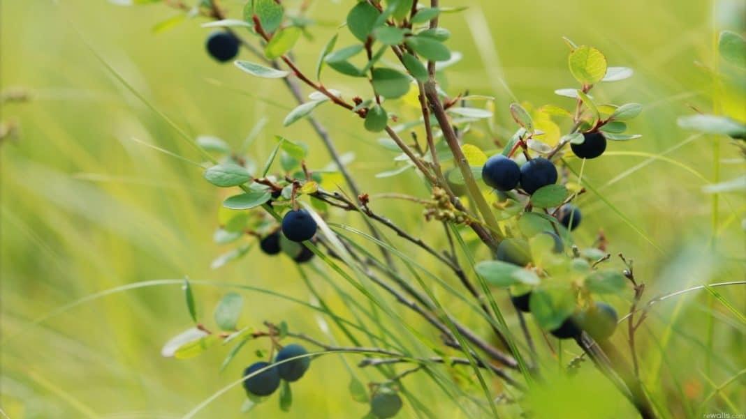 Съедобные ягоды в лесу: фото и список