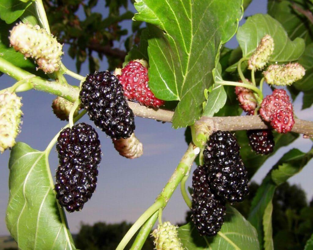 лесные съедобные ягоды названия