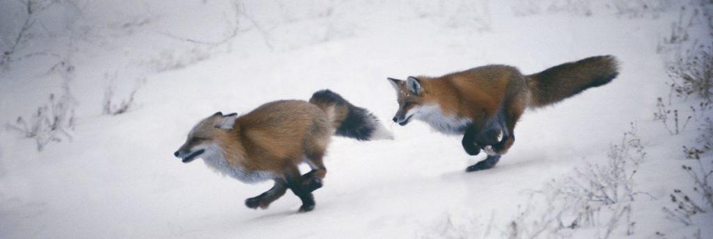Следы лисы на снегу: фото