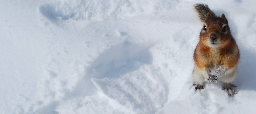 Как выглядят следы белки на снегу