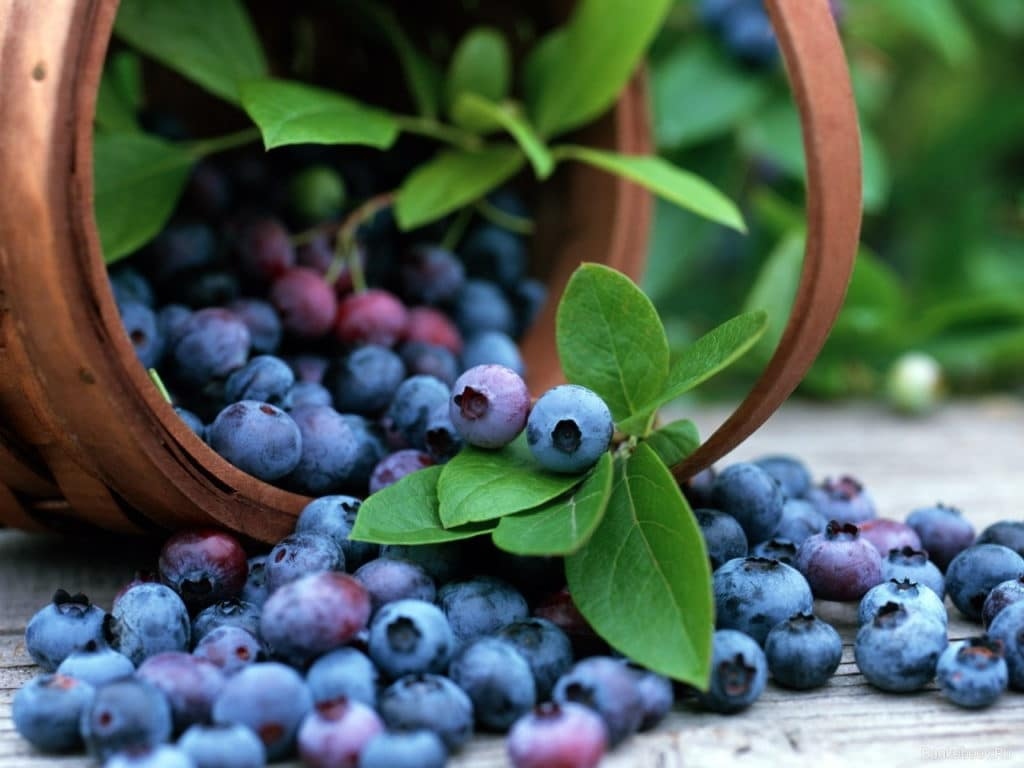 лесные ягоды названия и фото съедобные