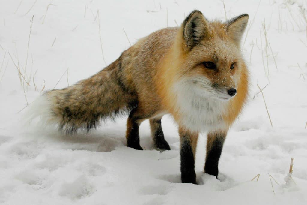 Следы лисицы зимой