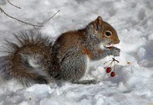 zhivotnye belki sneg yagody belka 870832