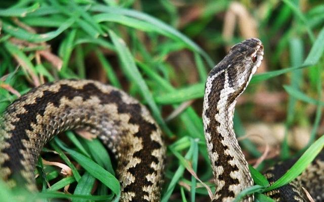 укусы человека ядовитыми змеями