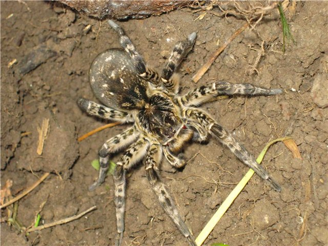 Желтый паук с полосатыми лапами. Паук-оса Аргиопа Брюнниха: черно-желтая красотка с фото и описанием