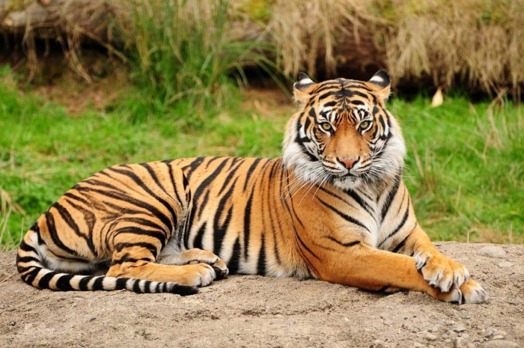 Охота на Амурского тигра находится под запретом