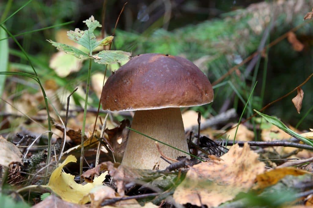 Лесные съедобные грибы