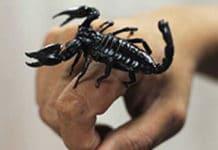 ukus skorpiona