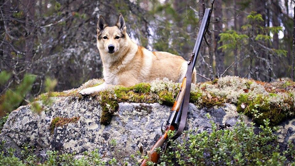 охотничья лайка