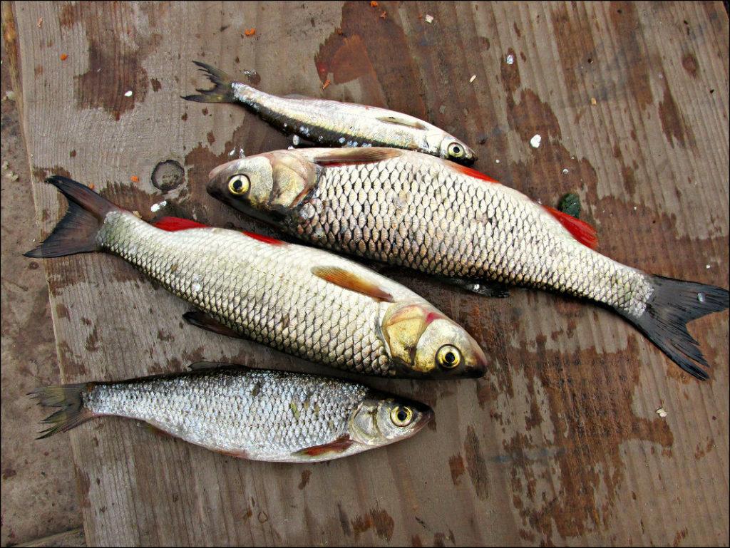 Сохранить пойманную рыбу в жару