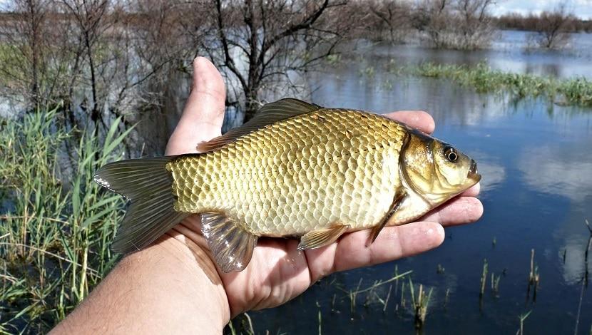 Какая рыба любит запах чеснока